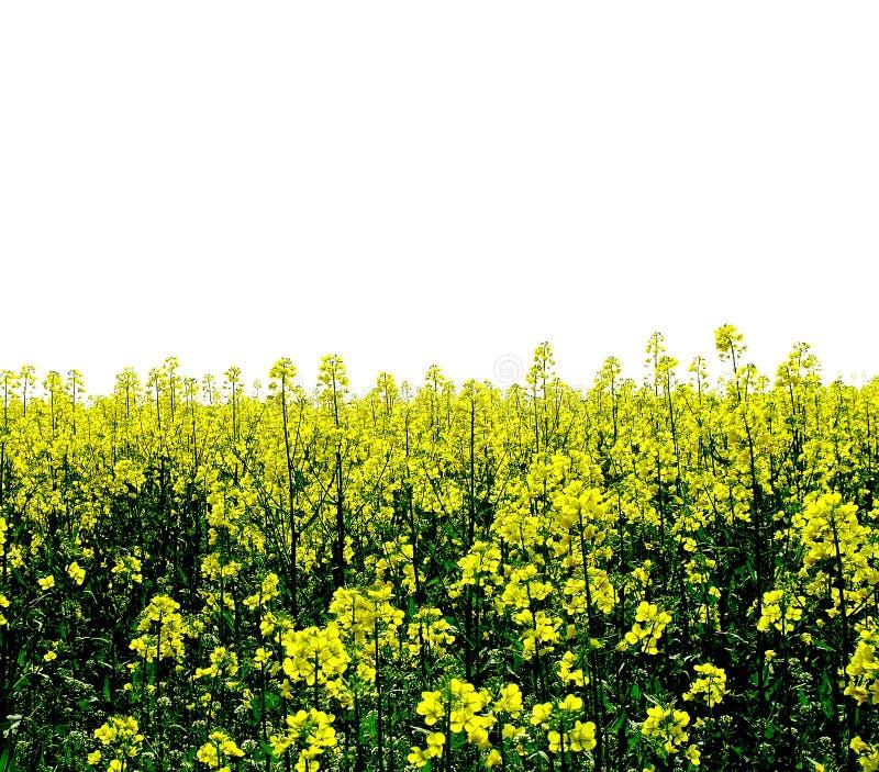 Campo giallo dei fiori immagini stock