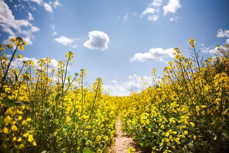 Campo giallo del seme di ravizzone di fioritura su fondo di cielo blu fotografia stock