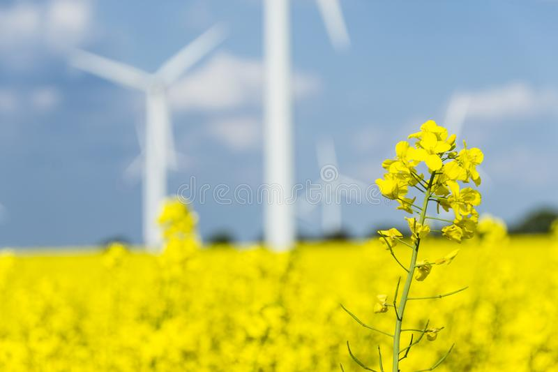 Campo giallo della colza sotto il cielo blu con la vista dettagliata sole- con i mulini a vento immagini stock libere da diritti