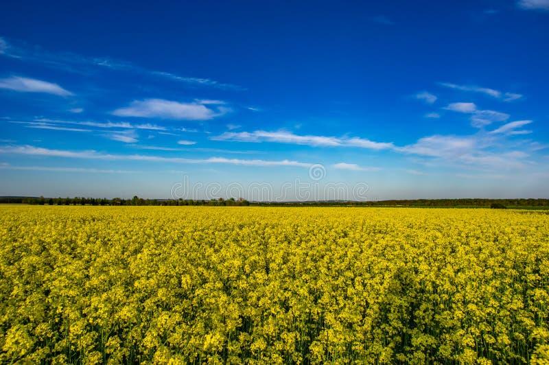 Campo giallo di canola di fioritura fotografia stock