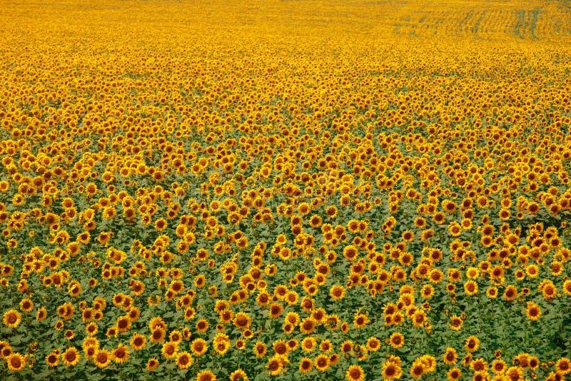 Campo giallo infinito dei girasoli immagini stock libere da diritti