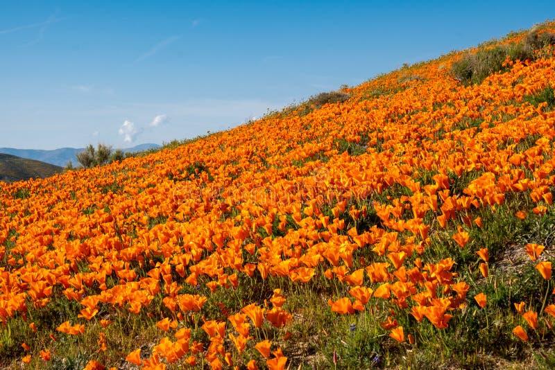 Campo gigante dei papaveri in valle Poppy Reserve dell'antilope in California durante il superbloom immagini stock libere da diritti