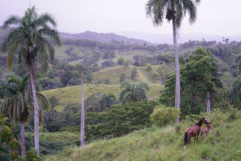 Campo gramíneo com os dois cavalos que estão perto da árvore com os montes verdes no fundo na República Dominicana fotos de stock royalty free