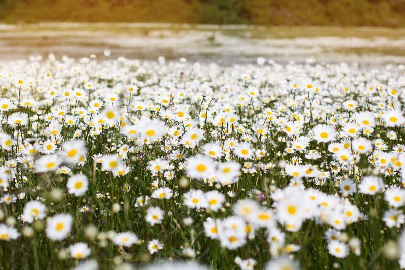 Campo grande de flores da margarida foto de stock