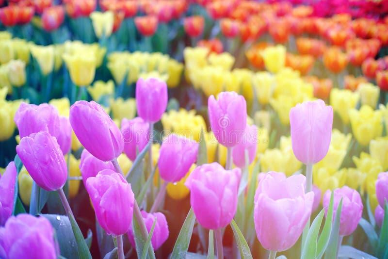 Campo grande de tulipanes violetas y rojos amarillos en jardín fotos de archivo libres de regalías