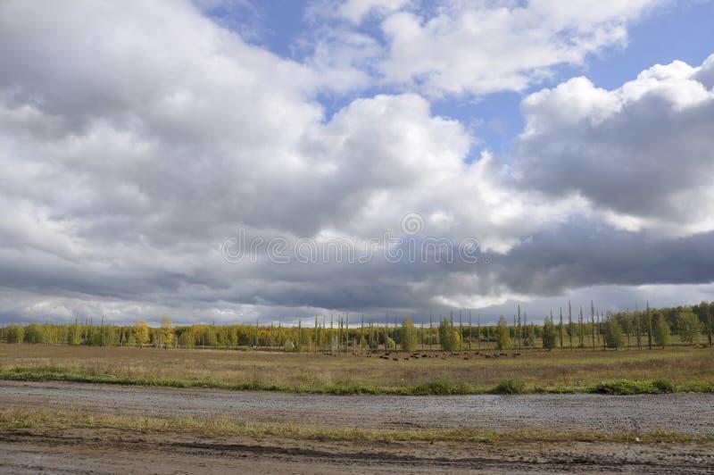 Campo grande del otoño con las vacas de los árboles lejos y las nubes en el cielo azul El viajar a través de Rusia foto de archivo
