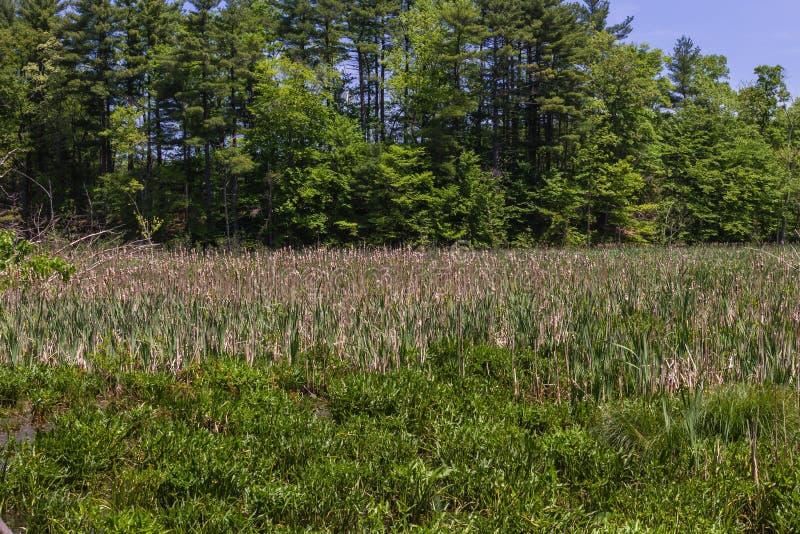 Campo herboso verde con los árboles altos en el fondo imagen de archivo libre de regalías