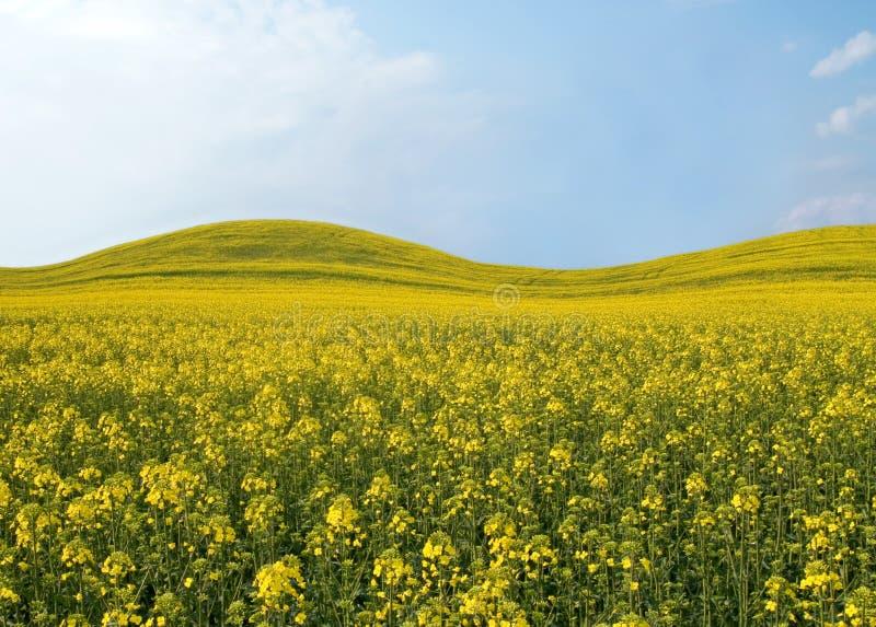 Campo hermoso con las flores amarillas. foto de archivo libre de regalías