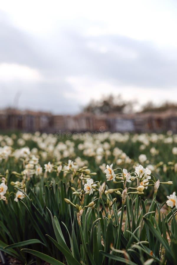 Campo hermoso con los narcisos brillantes y blancos imagen de archivo libre de regalías