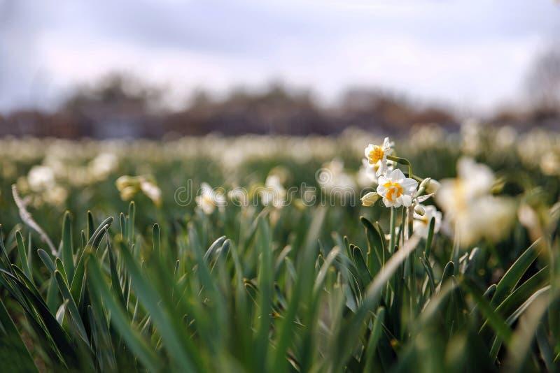 Campo hermoso con los narcisos brillantes y blancos fotografía de archivo