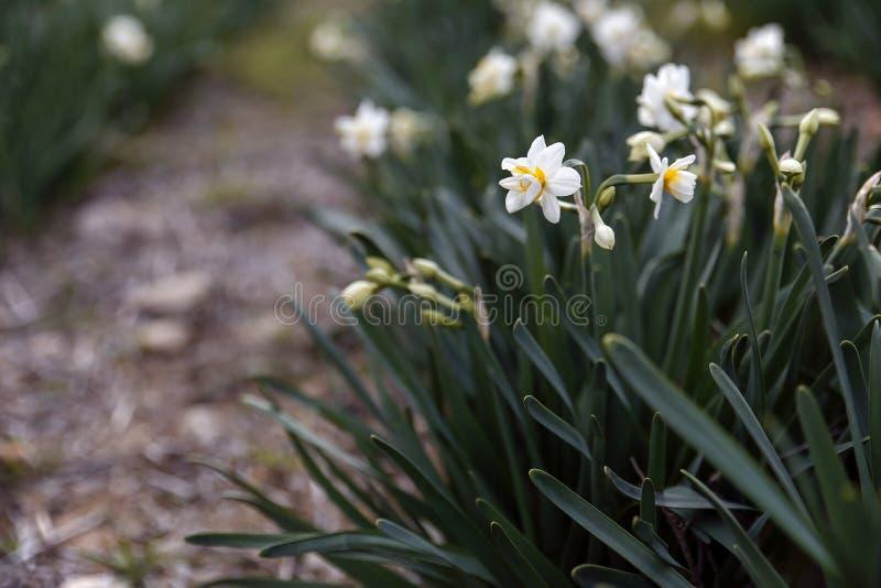 Campo hermoso con los narcisos brillantes y blancos fotos de archivo libres de regalías