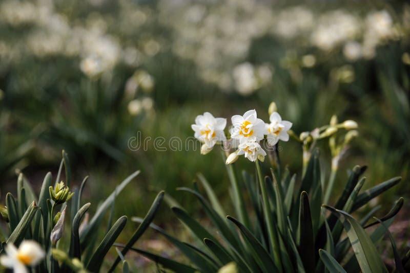 Campo hermoso con los narcisos brillantes y blancos fotos de archivo