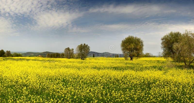 Campo hermoso de flores amarillas con los olivos y el cielo nublado azul en el campo toscano, cerca de Pienza Siena fotografía de archivo