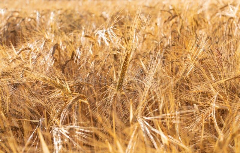 Campo hermoso de los cereales trigo, cebada, avena secada y de oro por el sol fotos de archivo