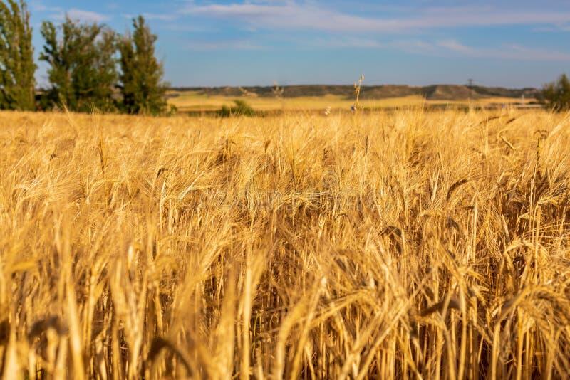Campo hermoso de los cereales trigo, cebada, avena secada y de oro por el sol imágenes de archivo libres de regalías