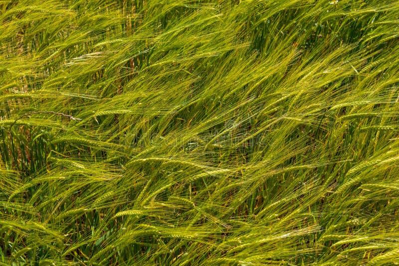 Campo hermoso de los cereales trigo, cebada, avena verde en un día de primavera soleado imagenes de archivo