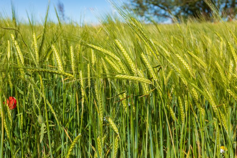 Campo hermoso de los cereales trigo, cebada, avena verde en un día de primavera soleado foto de archivo
