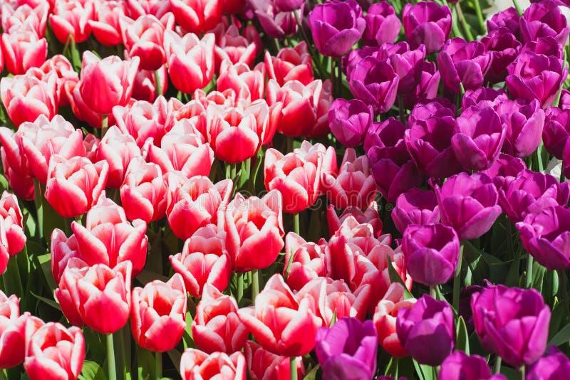 Campo hermoso de los tulipanes en tiempo de primavera imagenes de archivo