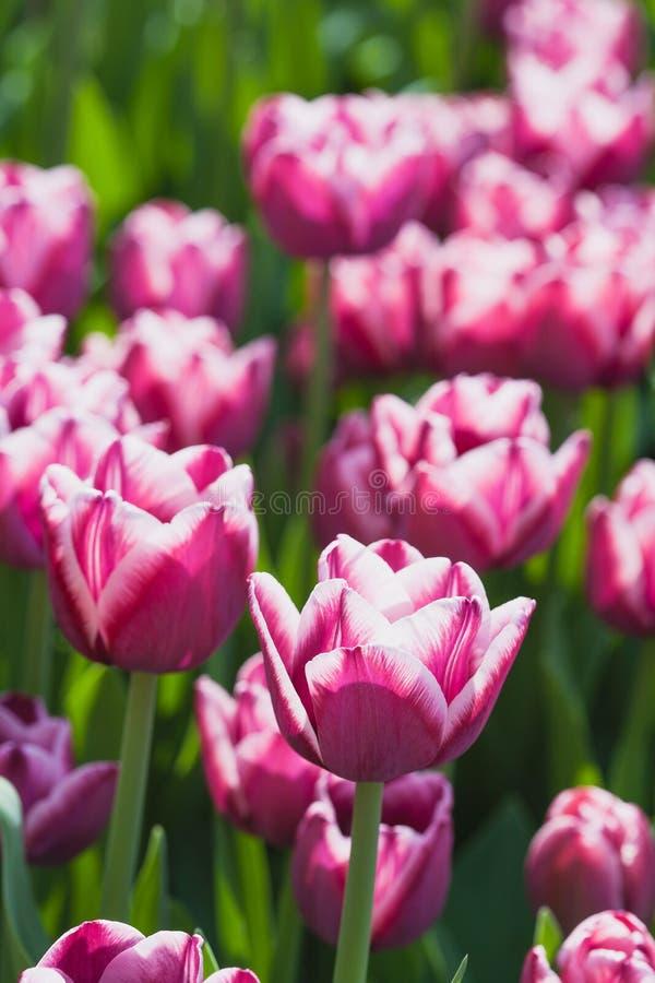 Campo hermoso de los tulipanes en tiempo de resorte imagenes de archivo