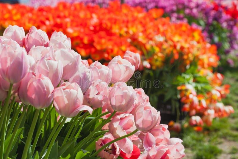 Campo hermoso de los tulipanes en tiempo de resorte fotos de archivo
