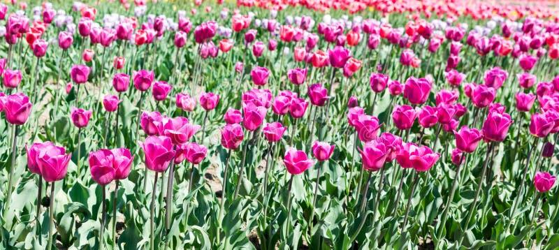 Campo hermoso de los tulipanes rosados Negrita foto de archivo libre de regalías