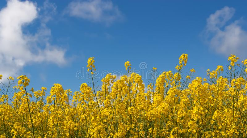 Campo hermoso del paisaje con las flores amarillas brillantes imagenes de archivo