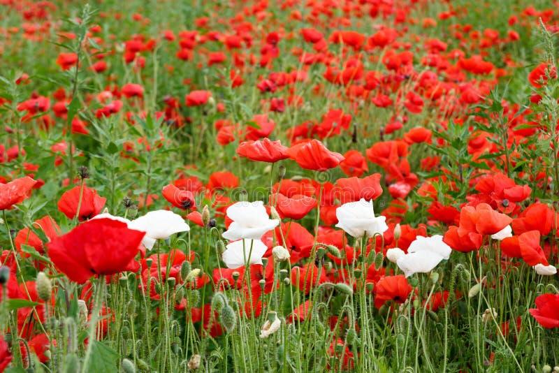 Campo hermoso del verano con las amapolas rojas y las flores blancas imagen de archivo