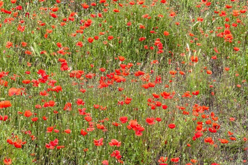 Campo hermoso llenado de las amapolas rojas fotos de archivo libres de regalías