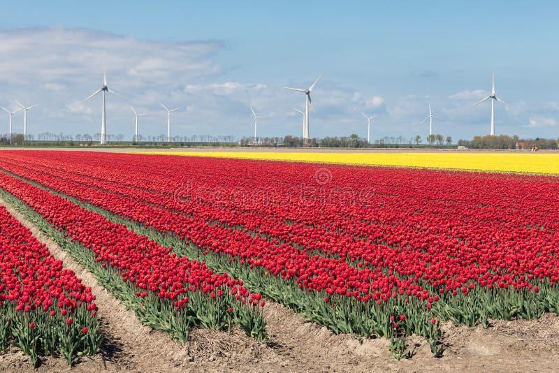 Campo holandés con los campos del tulipán y las turbinas de viento coloridos imágenes de archivo libres de regalías
