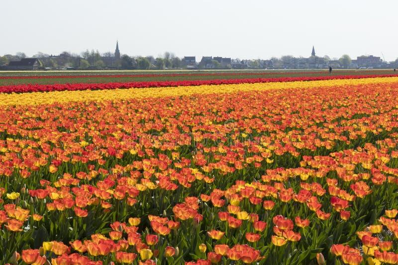 Campo holandês tradicional da tulipa com fileiras de flores e de torres de igreja alaranjadas e vermelhas no imagem de stock