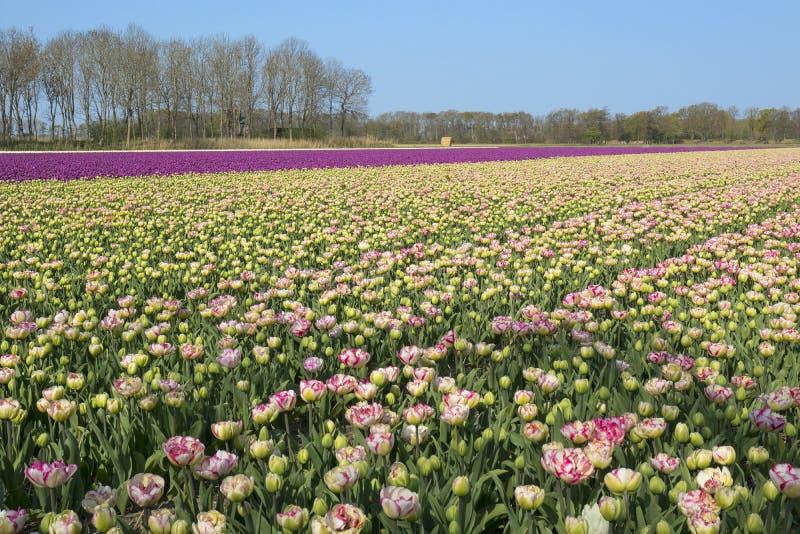 Campo holandês tradicional da tulipa com fileiras do rosa e de flores roxas fotos de stock royalty free