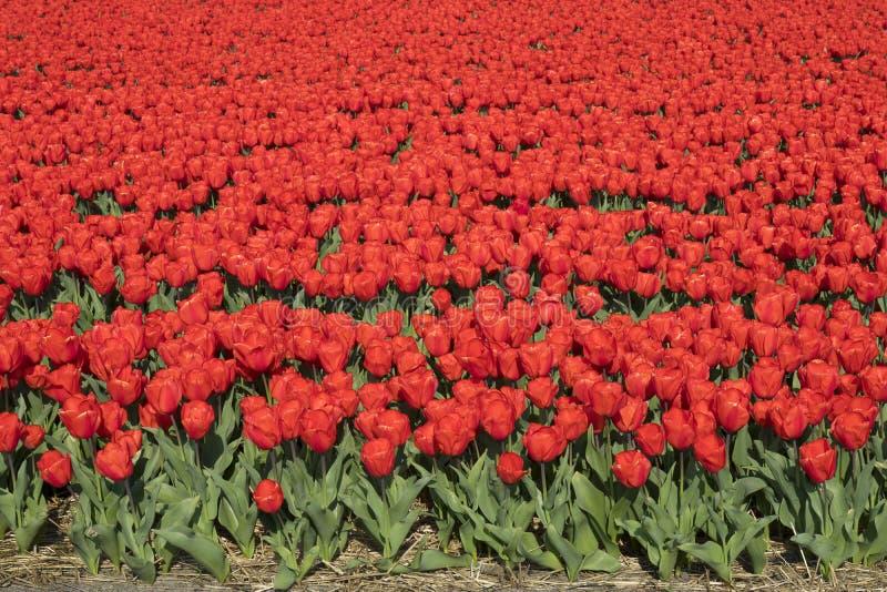 Campo holandês tradicional da tulipa fotografia de stock royalty free