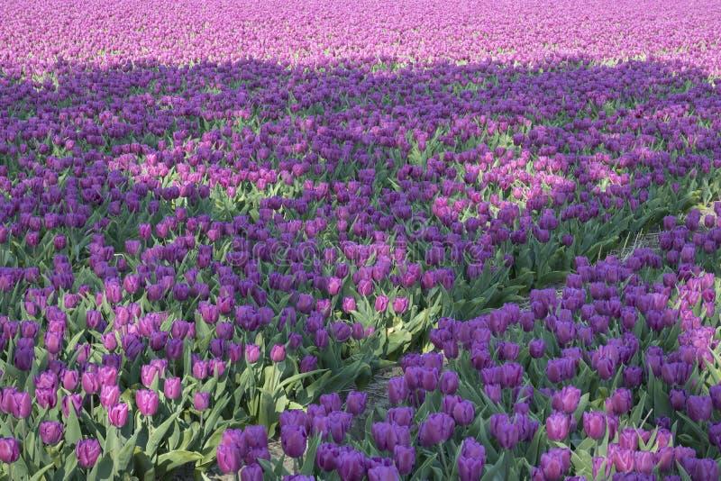 Campo holand?s tradicional da tulipa fotos de stock