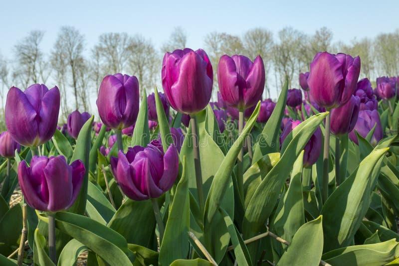Campo holand?s tradicional da tulipa imagens de stock