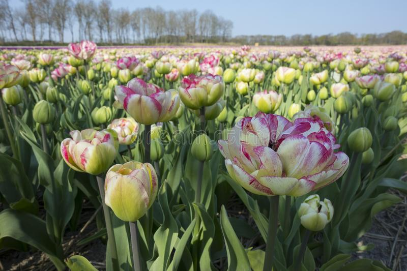 Campo holand?s tradicional da tulipa foto de stock royalty free