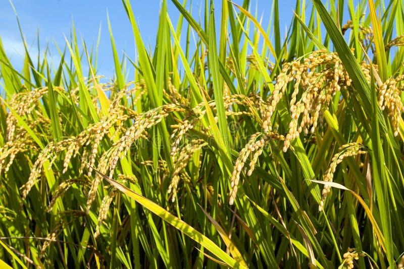 Campo II del arroz fotos de archivo libres de regalías