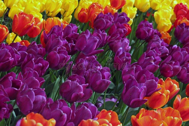 Campo iluminado por el sol de tulipanes púrpuras, amarillos y anaranjados foto de archivo