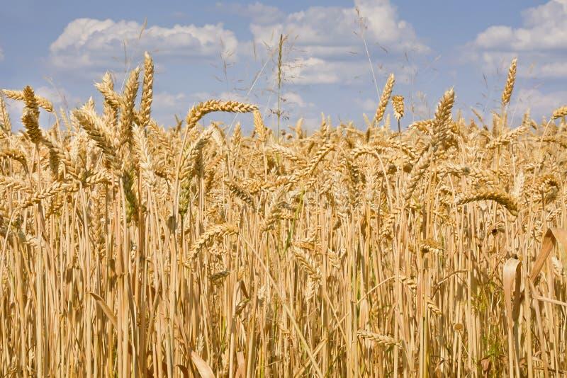 Campo iluminado por el sol del trigo maduro contra el cielo azul con las nubes imagen de archivo libre de regalías