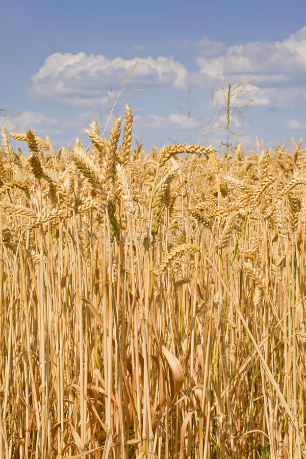 Campo iluminado por el sol del trigo maduro contra el cielo azul con las nubes imagenes de archivo