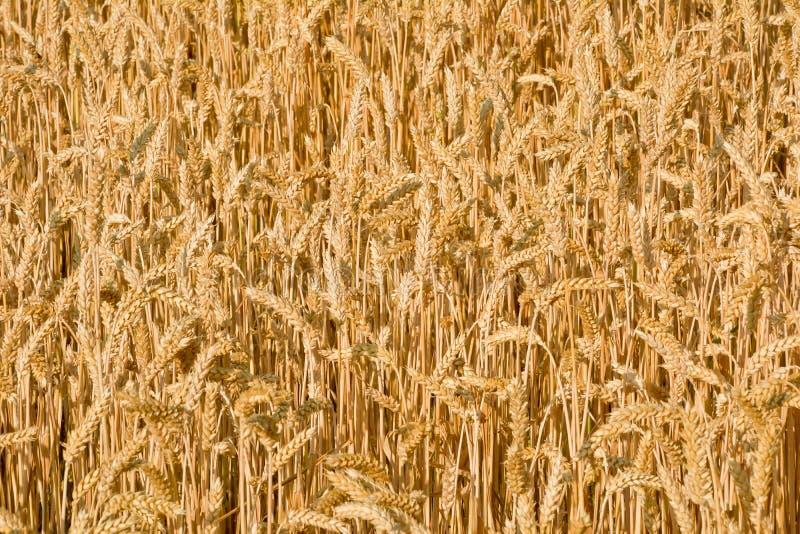 Campo iluminado por el sol del trigo maduro Fondo foto de archivo libre de regalías