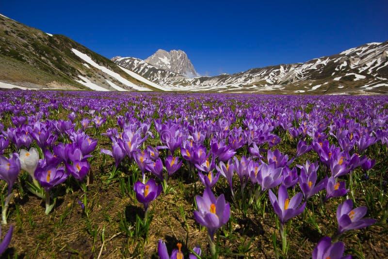 Campo Imperatore con el florecimiento violeta del azafrán imágenes de archivo libres de regalías