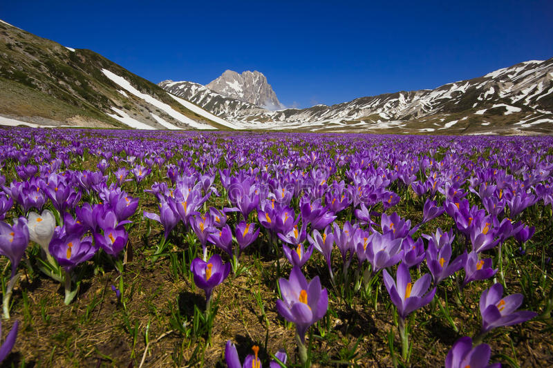 Campo Imperatore with violet crocus flowering royalty free stock images