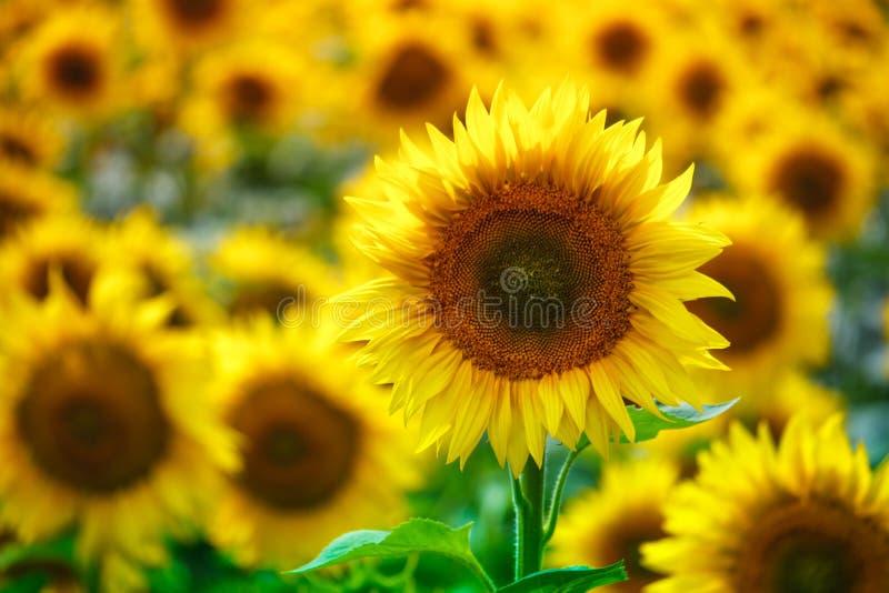 Campo infinito con los girasoles florecientes amarillos brillantes, foco suave imagenes de archivo