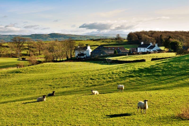 Campo inglés con el pasto de ovejas imagen de archivo libre de regalías