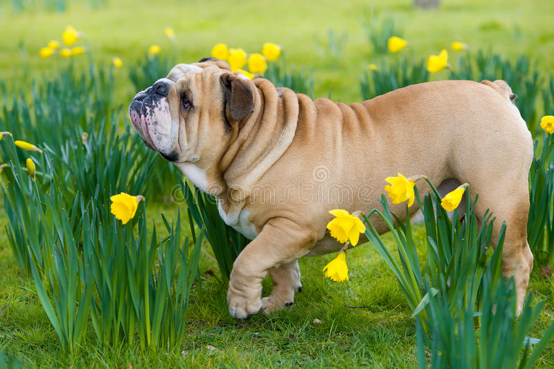 Campo inglês bonito feliz do cão do buldogue na primavera fotos de stock royalty free
