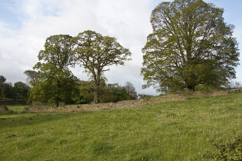 Campo irlandés típico con los robles y las paredes de piedra foto de archivo