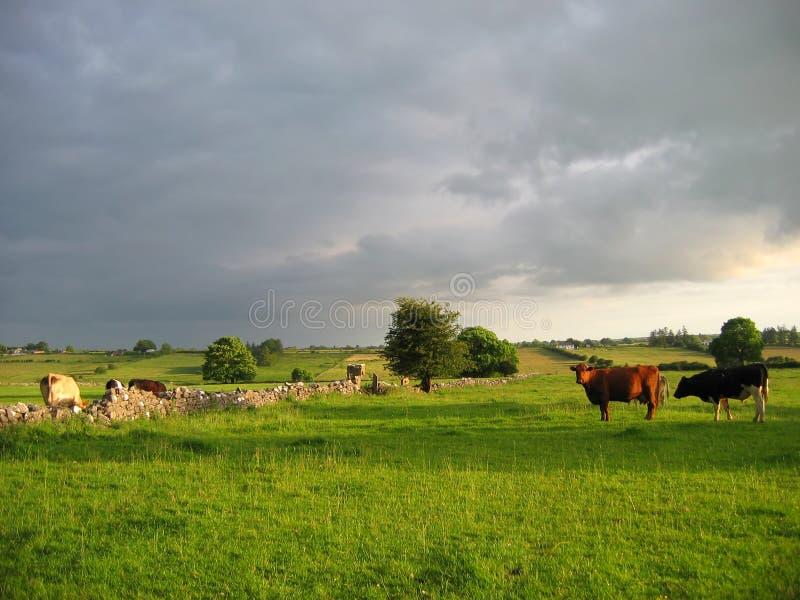 Download Campo irlandês imagem de stock. Imagem de livestock, pasto - 538787