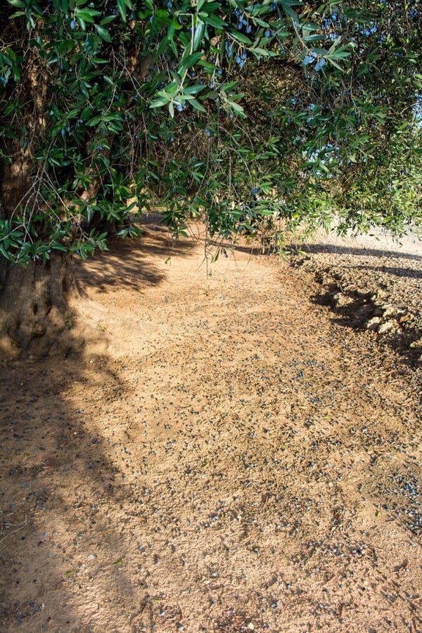 Campo italiano de Olive Tree Plantation In The em novembro fotos de stock