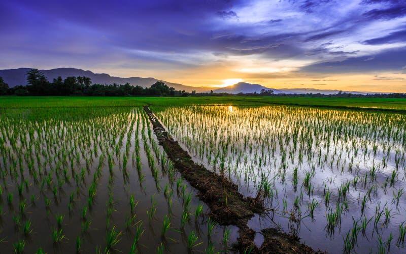 Campo joven del arroz contra el cielo reflejado de la puesta del sol imagenes de archivo