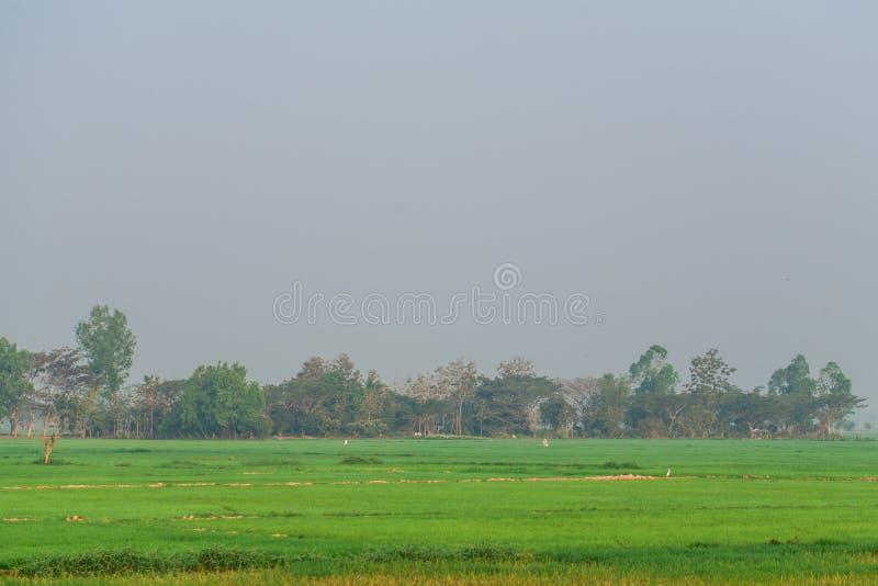 Campo joven del arroz en comenzar estación de lluvias fotografía de archivo libre de regalías